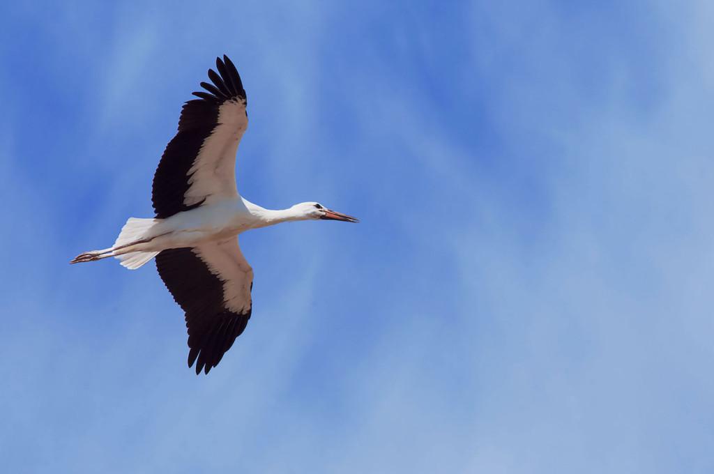 Stork heraldic animal Belarus
