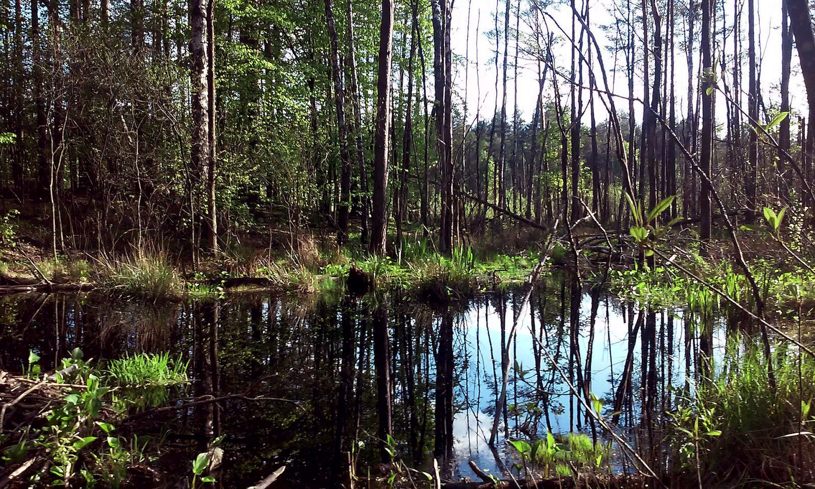 Prypjat marshes near Lyaskovichi Belarus