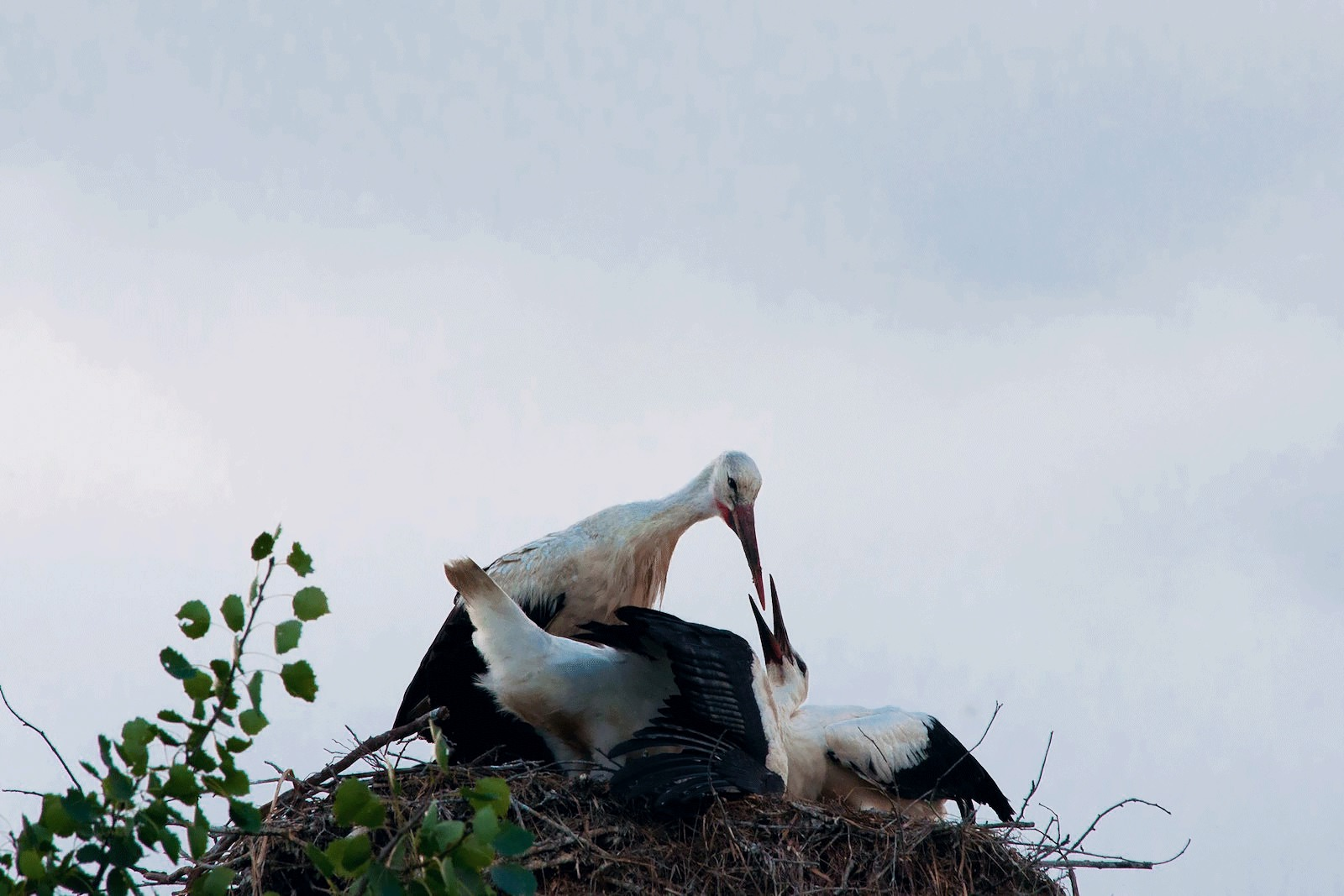Feeding stork Belarus