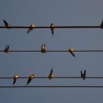 Birds on power line Belarus