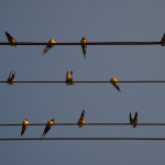 Birds on power line Belarus