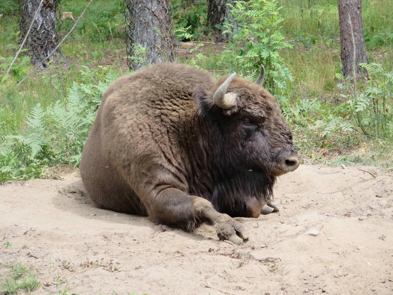 Wisent European Bison Nationalpark Bialowieza Belarus