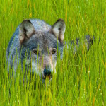 Wolf in the grass Belarus