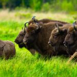 Family of the bisons the Belovezhskaya Pushcha National Park Belarus