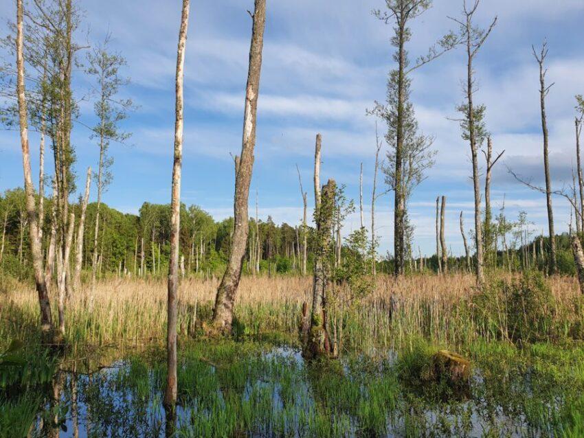 'Enchanted Swamp' in Naliboki Forests | Photo: Sveta Abehtikova