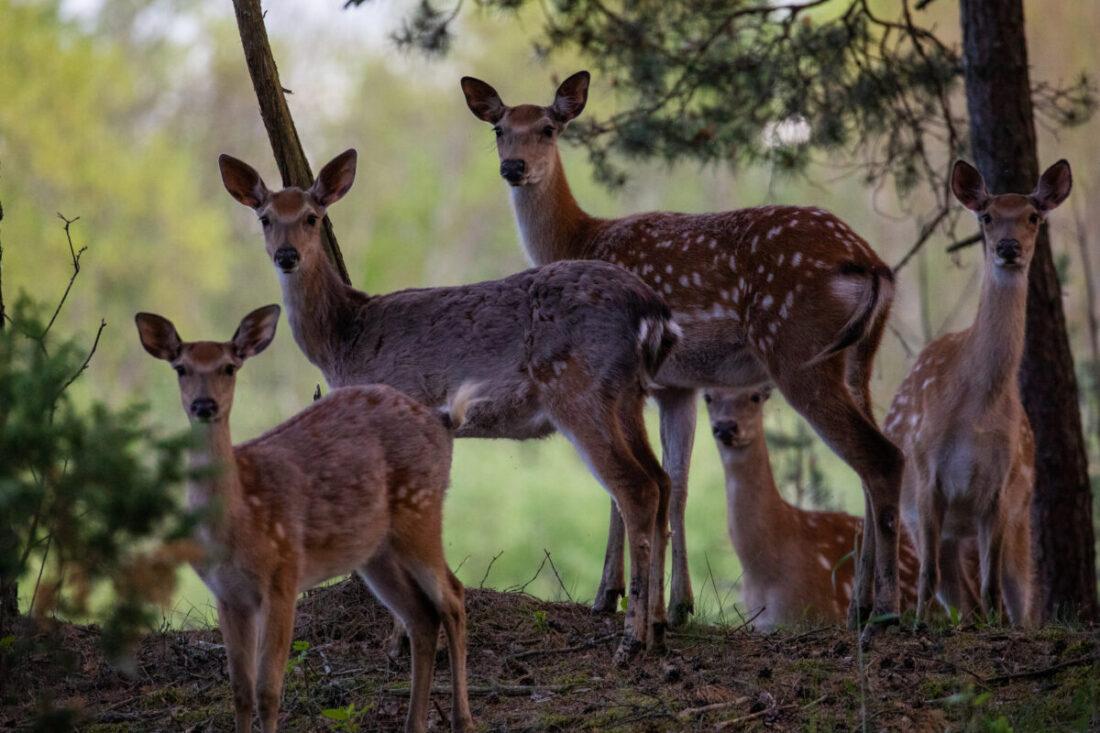 Roe deer family | Photo: Frank Meile