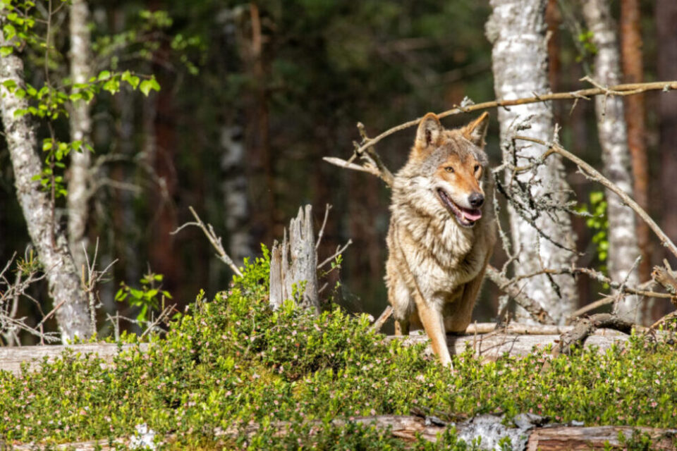 Gorgeous wolf | Photo: Frank Meile