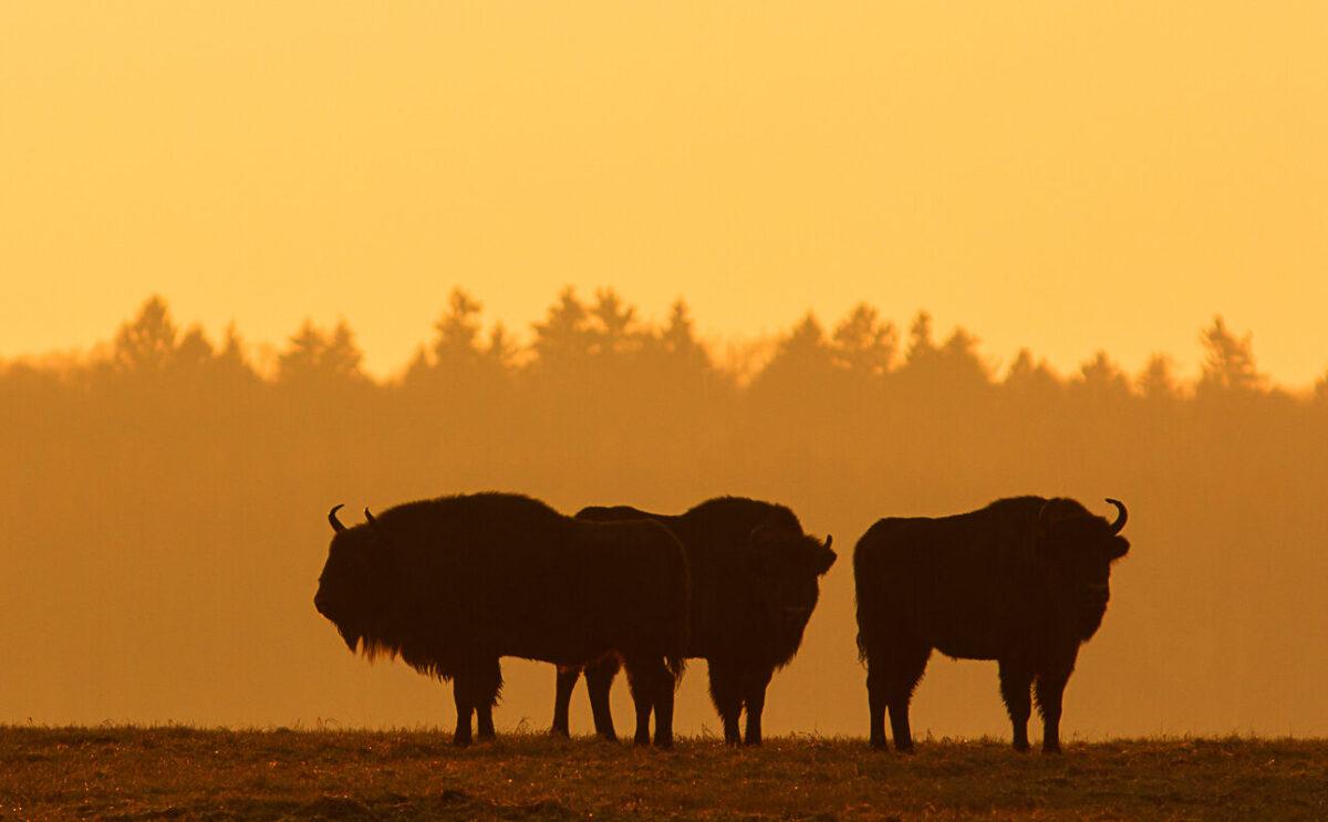 Majestic bisons  | Photo: Alexander Pekach